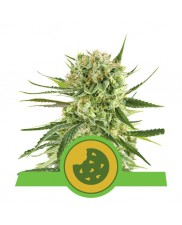 Royal Cookies Automatic - Royal Queen Seeds - autoflowering