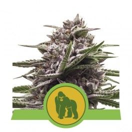 Royal Gorilla Automatic - Royal Queen Seeds - autoflowering