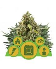 Autoflowering Mix - Royal Queen Seeds - autoflowering