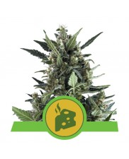 Blue Cheese Automatic - Royal Queen Seeds - autoflowering