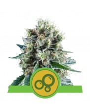 Bubble Kush Automatic - Royal Queen Seeds - autoflowering