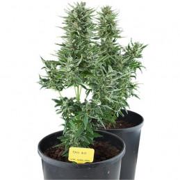 Easy Bud - Royal Queen Seeds - autoflowering