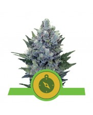 Northern Light Automatic - Royal Queen Seeds -  autoflowering