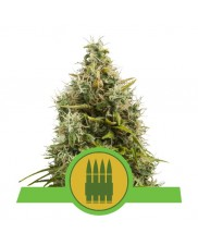 Royal AK Automatic - Royal Queen Seeds - autoflowering