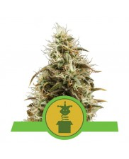 Royal Jack Automatic - Royal Queen Seeds - autoflowering