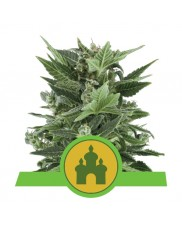 Royal Kush Automatic - Royal Queen Seeds - autoflowering