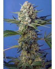 Crystal Candy F1 Fast Version® - Sweet Seeds - feminizovaná semena ( AKCE 3+1ks , 5+2ks )