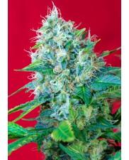 Green Poison - Sweet Seeds - feminizovaná semena ( AKCE  3+1ks , 5+2ks )