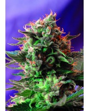Jack 47 - Sweet Seeds  - feminizovaná semena ( AKCE  3+1ks , 5+2ks )