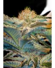 Mohan Ram - Sweet Seeds  - feminizovaná semena ( AKCE  3+1ks , 5+2ks )
