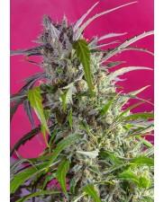 Crystal Candy Auto® - Sweet Seeds - autoflowering ( AKCE  3+1ks , 5+2ks )