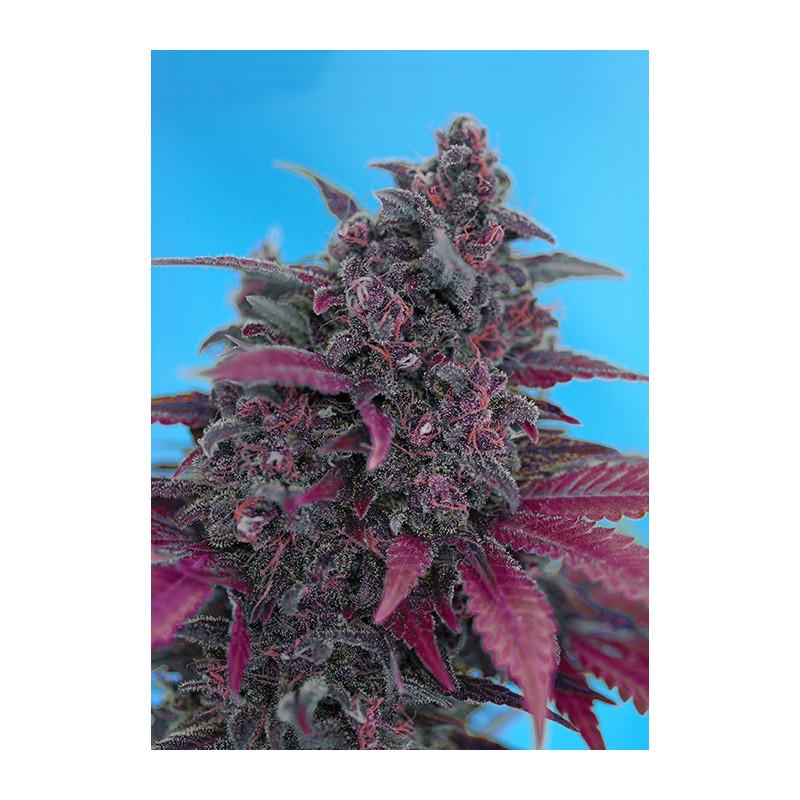 Dark Devil Auto - Sweet Seeds - autoflowering ( AKCE  3+1ks , 5+2ks )