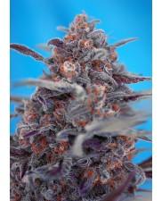 Devil Cream Auto - Sweet Seeds - autoflowering ( AKCE  3+1ks , 5+2ks )