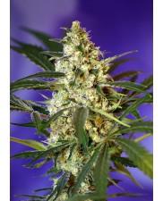 Fast Bud 2 Auto -  Sweet Seeds - autoflowering ( AKCE  3+1ks , 5+2ks )
