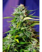 Jack 47Auto - Sweet Seeds - autoflowering ( AKCE  3+1ks , 5+2ks )