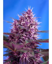 Red Poison Auto - Sweet Seeds - autoflowering ( AKCE  3+1ks , 5+2ks )