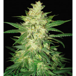 Sweet Coffee Ryder - World of seeds - autoflowering