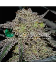 Tonic Ryder  - World of Seeds - autoflowering