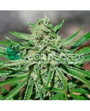 CBD Tonic - World of Seeds - feminizovaná semena