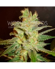 Northern Light x Big Bud Early Harvest - World of Seeds - feminizovaná semena (rychlejší květ)