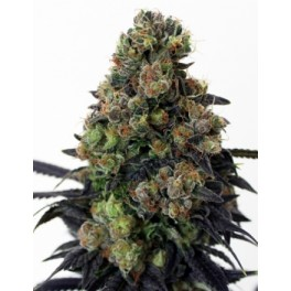 Acid Dough  - Ripper Seeds - feminizovaná semena