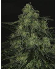 BlackValley - Ripper Seeds - feminizovaná semena