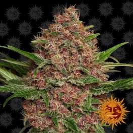 Purple Punch Auto ™ - Barney´s Farm - autoflowering