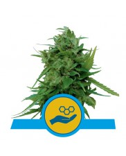Solomatic CBD - Royal Queen Seeds - medical autoflowering
