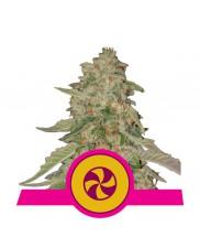 Sweet ZZ - Royal Queen Seeds - feminizovaná semena