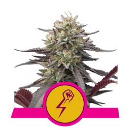 Green Punch - Royal Queen Seeds - feminizovaná semena
