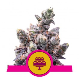 Wedding Gelato - Royal Queen Seeds - feminizovaná semena
