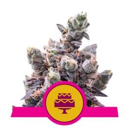 Wedding Gelato - Royal Queen Seeds - feminizovaná semena