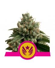Legendary Punch - Royal Queen Seeds - feminizovaná semena