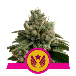 Legendary Punch - Royal Queen Seeds - feminizovaná semena