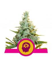 AMG - Amnesia Mac Ganja - Royal Queen Seeds - feminizovaná semena