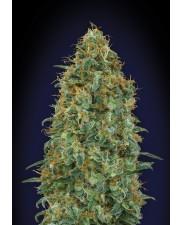 Blueberry - 00seeds - feminizovaná semena - 5 ks
