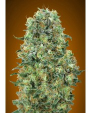 Critical Mass - Advanced Seeds - feminizovaná semena