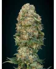 Female Mix - Advanced Seeds - feminizovaná semena