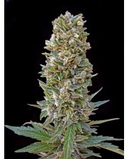Automatic Mix - Advanced Seeds - autoflowering
