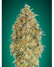 Auto Gorilla Blue- Advanced Seeds - autoflowering