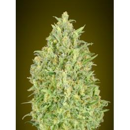 Auto Pineapple Glue - Advanced Seeds - autoflowering