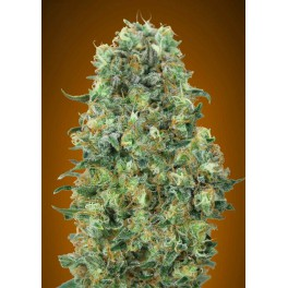 Feminized Col.6 - Advanced Seeds (2 od každého: Critical Mass,Gorilla Blue,Strawberry Gum) - 6 ks