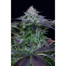 Dinamed Kush CBD Autoflowering - Dinafem - léčebná  autoflowering semena