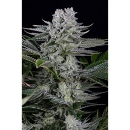 Gorilla CBD - Dinafem - léčebná  feminizovaná semena