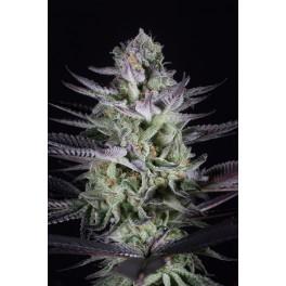 Blueberry Cookies - Dinafem - feminizovaná semena