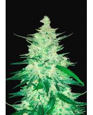 CBD Auto 1:1 (CBD Crack) - Fast Buds - autoflowering