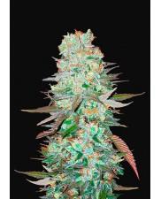 G14 Auto - Fast Buds - autoflowering