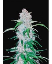Six Shooter Auto - Fast Buds - autoflowering