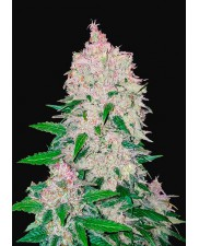 Stardawg Auto - Fast Buds - autoflowering