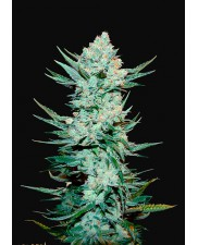 Tangie'matic - Fast Buds - autoflowering